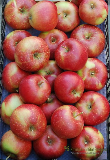 Hipoalergena sorta Elise (Koksova oranžna reneta x Septer) zori v času standardne sorte - Zlatega delišesa. Ta je v primeru pridelovalnih razmer Slovenije med 15. in 20. septembrom.