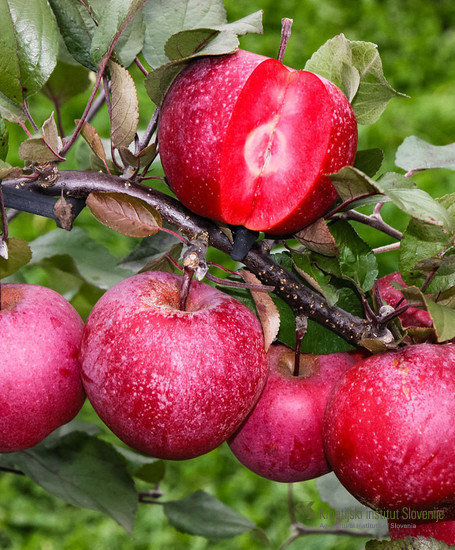 Sorta Baya marisa (Weirouge x žlahtni nosilec 166) je novejša rdeče mesnata jablana. Fotografija: splet