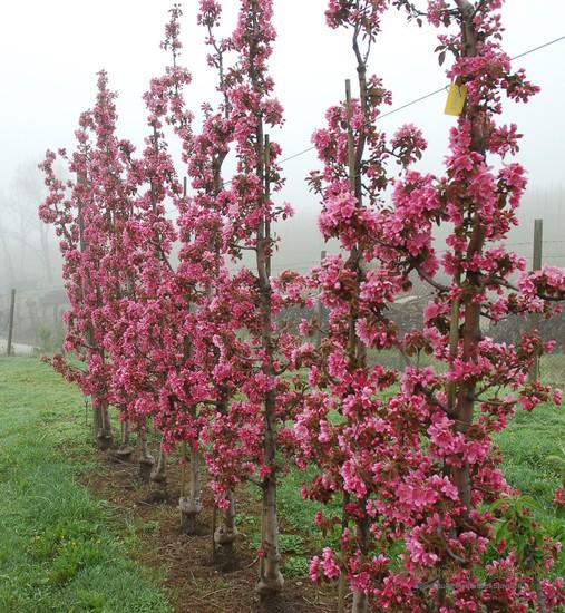Sorta Maypole v času cvetenja.