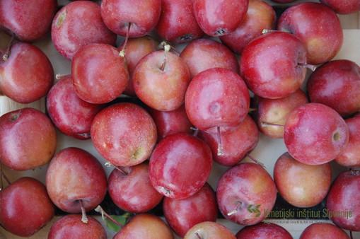 Plodovi sorte Maypole so drobni in dosegajo v premeru manj kot 50 mm. Zaradi trpkega in zelo kislega okusa so praktično neužitni.