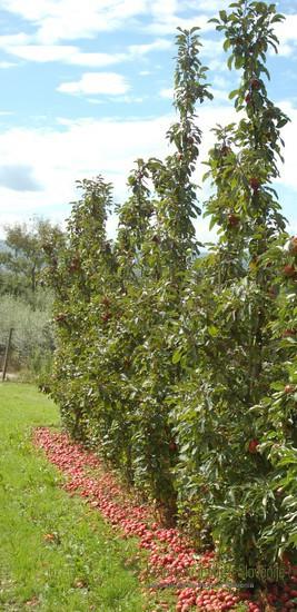 Sorto Maypole uvrščamo v skupino stebričastih opraševalnih jablan odpornih na jablanov škrlup.