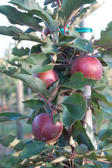 Sorta Pomfital je na škrlup odporna stebričasta jablana. Gre za križanca sort Maypole x Red Elstar.