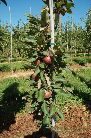 Drevo sorte Weirouge v drugem letu rasti.