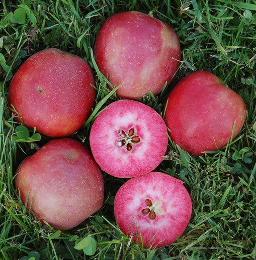 Plodovi sorte Weirouge v času zrelosti.